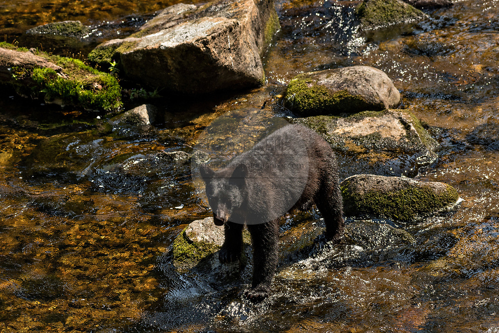 An adult American black bear stands in the water as he searches for spawning salmon at Anan Creek in the Tongass National Forest, Alaska. Anan Creek is one of the most prolific salmon runs in Alaska and dozens of black and brown bears gather yearly to feast on the spawning salmon.