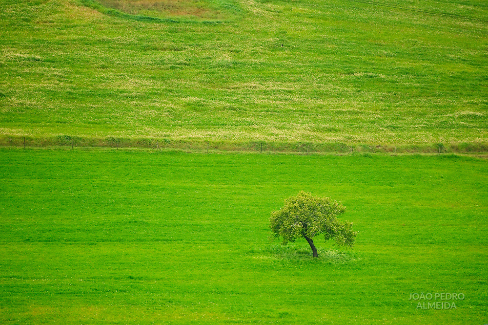 Olive tree at green plain