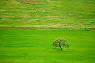 Olive tree at green plain