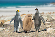A family of King penguins walk towards the beach on Saunders Island in the Falklands.