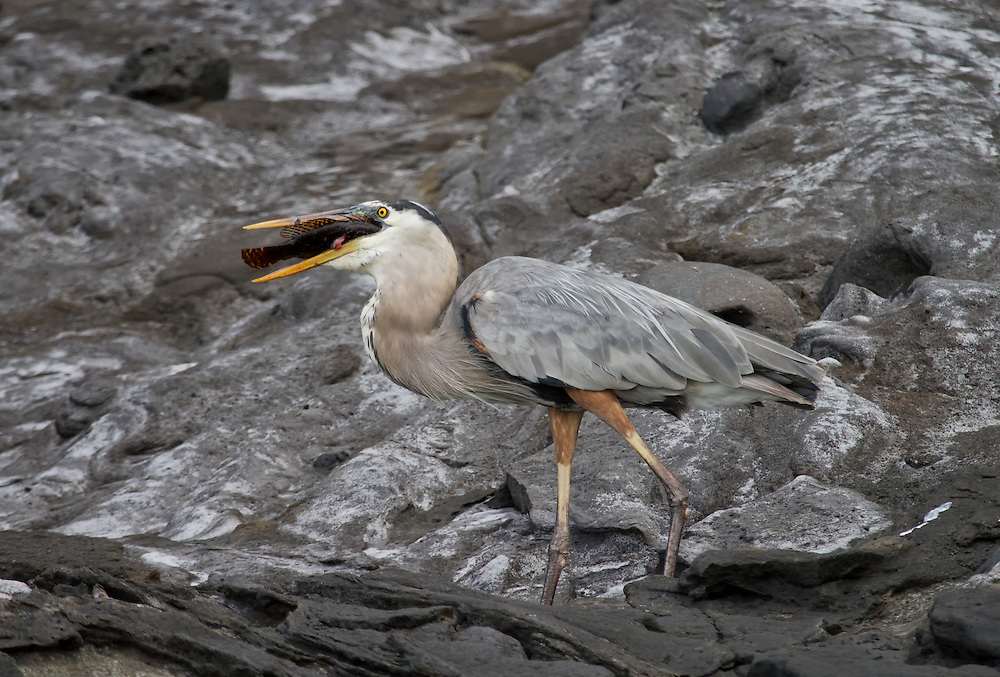 Great Blue Heron (Ardea herodias), Isabela Island, Tagus Cove, Galapagos Islands, Ecuador, South America