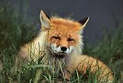 Red Fox, Fox, Denali National Park, Alaska