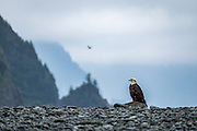 Upon reaching Bear Glacier, this beautiful Bald Eagle greeted our arrival.