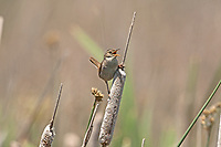 A Marsh Wren perched on a cattail it is June and the marsh is starting to get its color back.