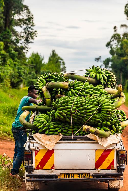 A pickup truck loaded with bananas, Haut-Uele, Orientale Province, Uganda. Uganda is a major producer of bananas.