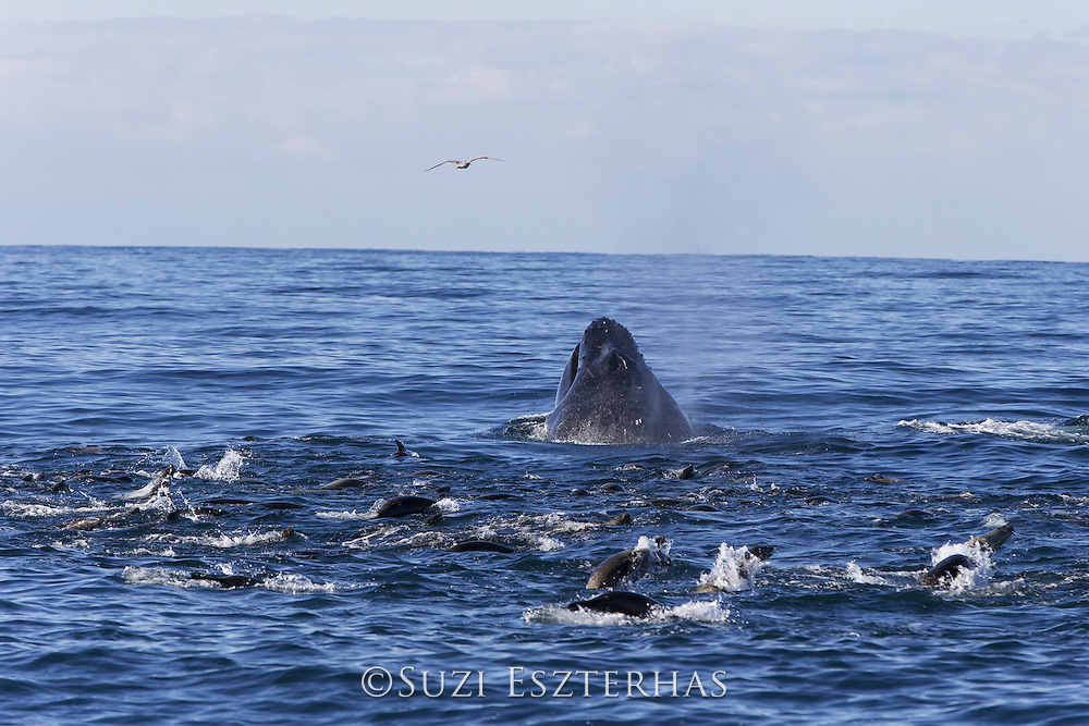 Humpback Whale<br /> Megaptera novaeangliae<br /> Lunge feeding on anchovy with California sea lions (Zalophus californianus)<br /> Monterey Bay, California