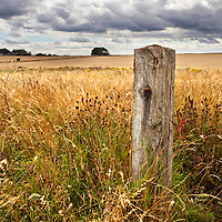 Old Fence Post and Ripe Crop in a Field near Amble Northumberland England