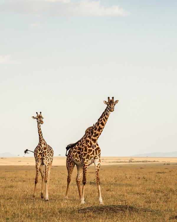 Giraffa tippelskirchi, Kenya