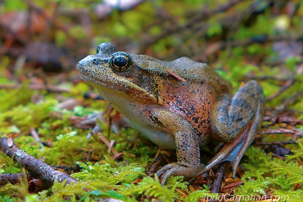 red legged frog