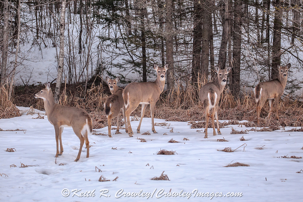 Group of White-tailed deer in late winter habitat.