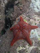 Red Starfish on the seafloor near Isabella island, Galapagos islands.