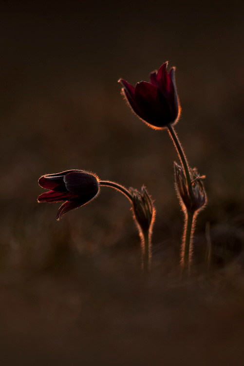 Pasque flowers, Pulsatilla vulgaris,  with in backlight, Mont du Cézallier, Auvergne, France