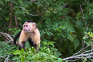 A monkey with a sad look on his face.
