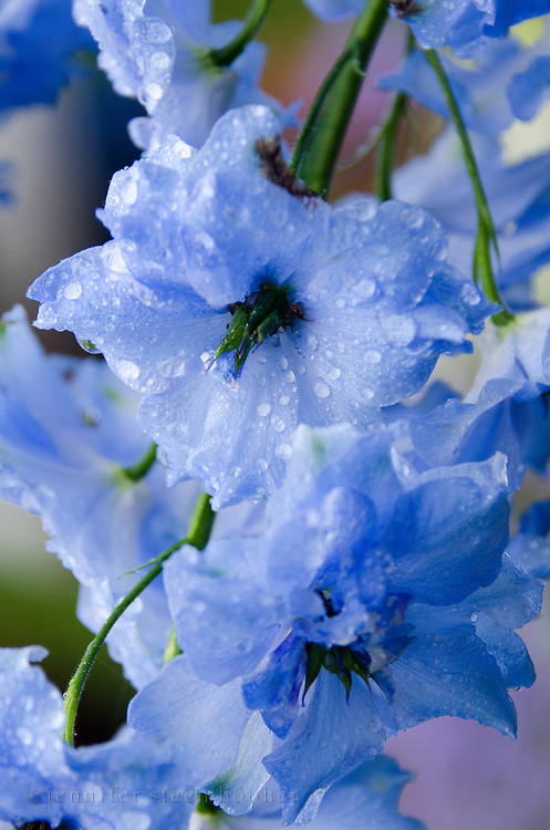 Blue flowers of Delphinium 'Centurion' in a rain shower, Northeast Harbor, Maine.