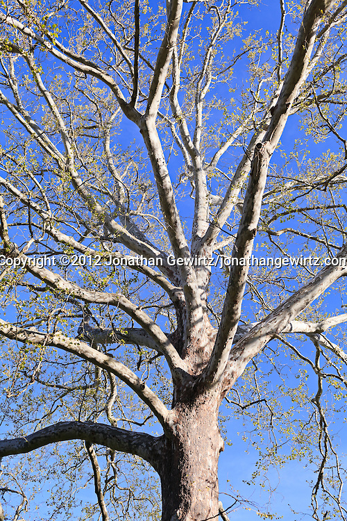 A tall sycamore tree. WATERMARKS WILL NOT APPEAR ON PRINTS OR LICENSED IMAGES.