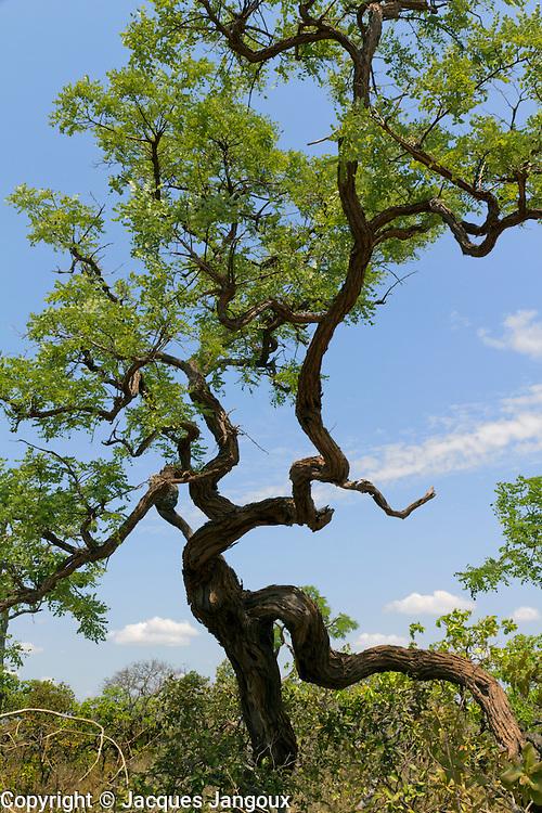 Typical contorted tree in savanna (called  cerrado in Brazil) biome, Minas Gerais or Bahia State, proximity  or in Grande Serão Veredas National Park, Brazil