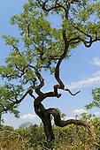 Savanna (cerrado) biome, grassland, open woodland, saxicolous ecosystems; trees, flowers