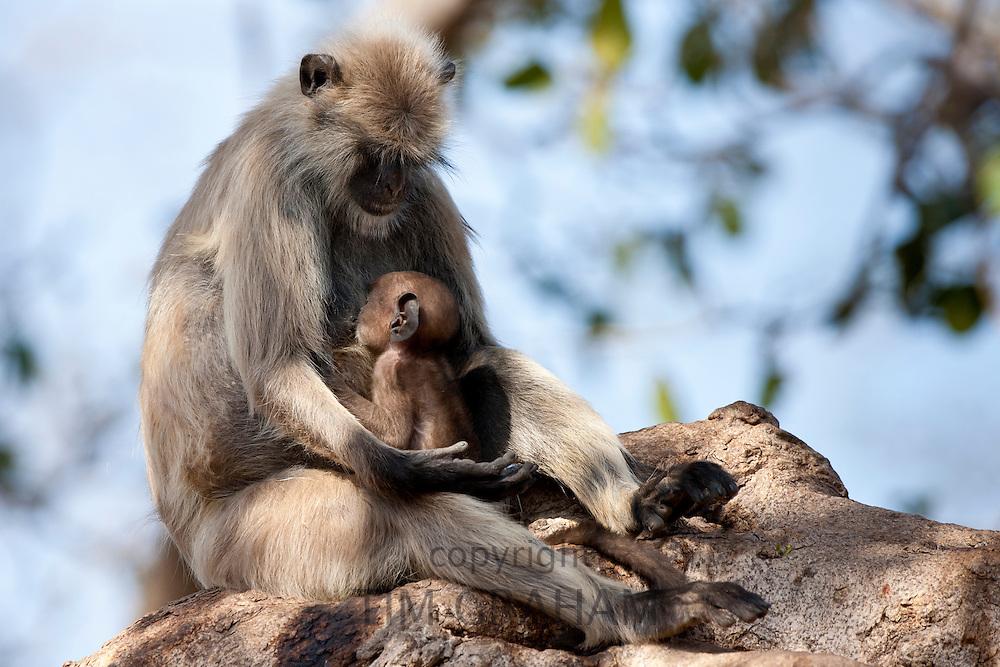 Indian Langur monkeys, Presbytis entellus, female and baby feeding in Banyan Tree in Ranthambore National Park, Rajasthan, India