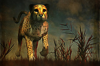One thing is for certain: This cheetah is very much in control of the moment, regardless of the prey he has found on this warm African night. African is a massive continent, but this scene brings the many nations to a very specific moment. This cheetah is dedicated to its task, but it also doesn't seem to be in any significant rush. The hunt is all but finished. The prey will be taken down no matter what. You can purchase this incredible, singular fine art piece in several different print forms, or in the form of an interior home décor product.