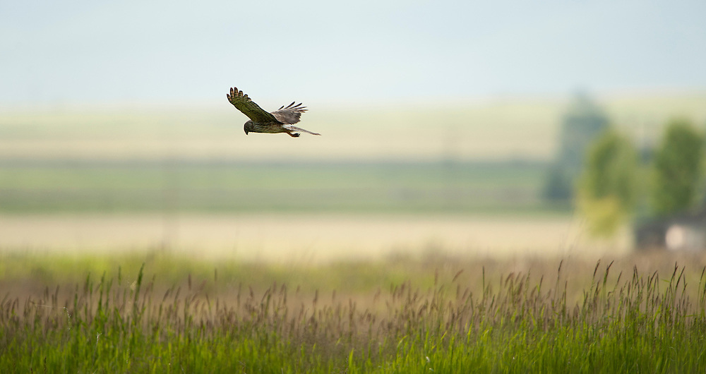 A Northern Harrier hunts a field, Western Montana