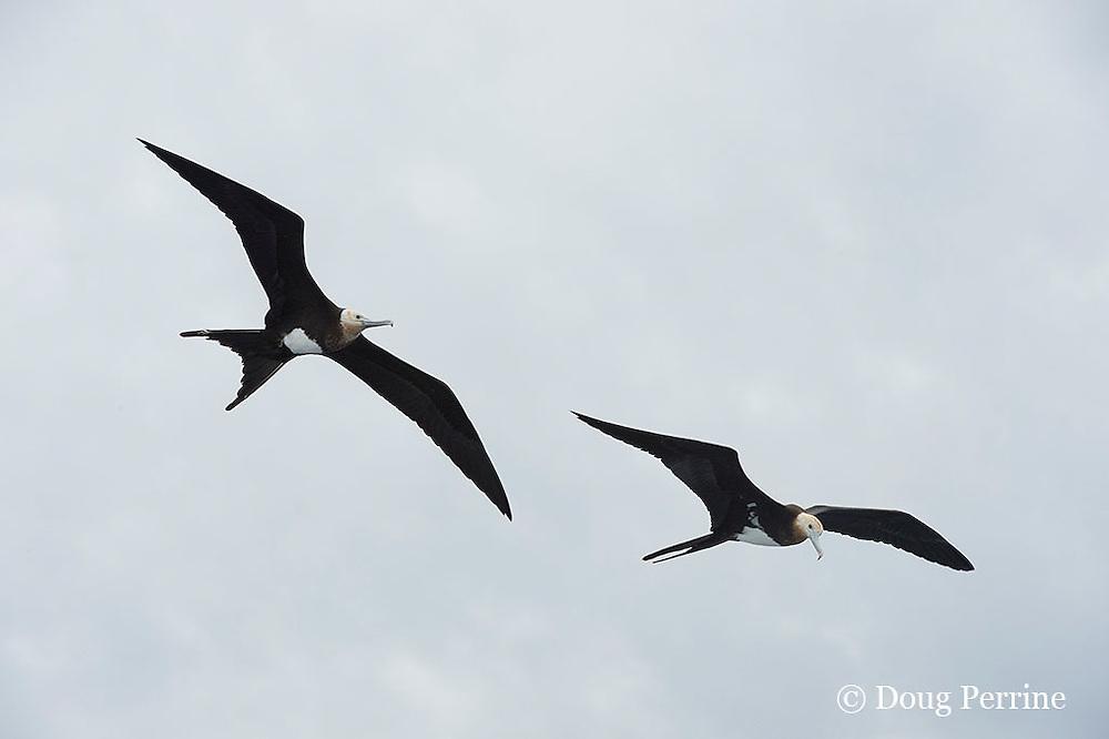 juvenile lesser frigatebirds or man-o-war birds, Fregata ariel, Vava'u, Kingdom of Tonga, South Pacific