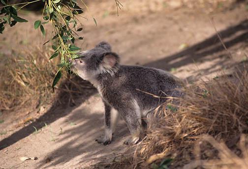 Koala (Phascolarctos cinereus) feeding on eucalyptus leaves in Australia.  Captive Animal.
