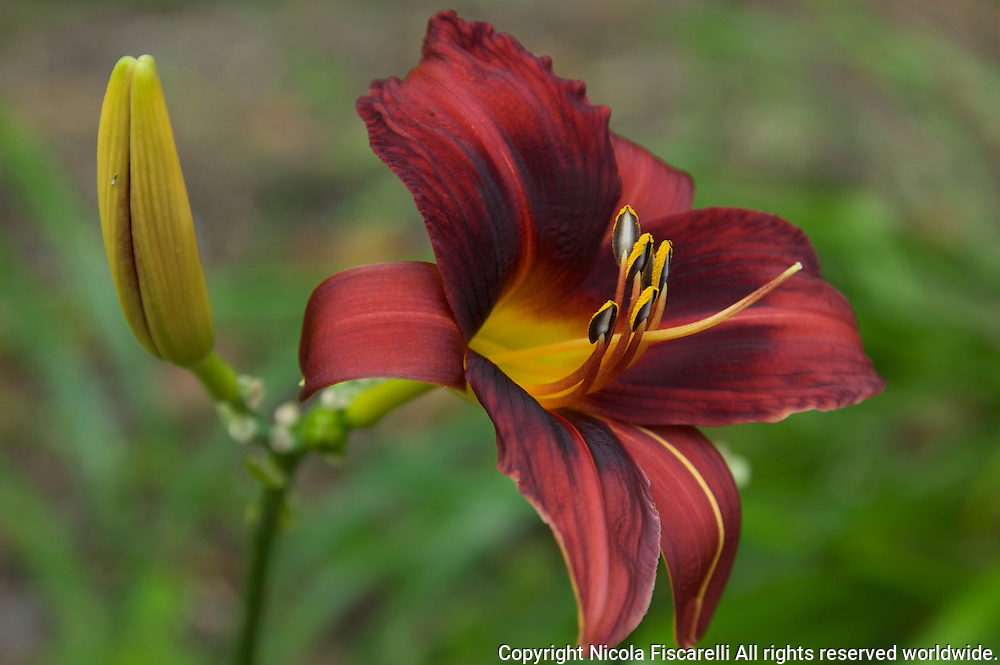 A close-up of a Burgundy colored lily ,with the green background.