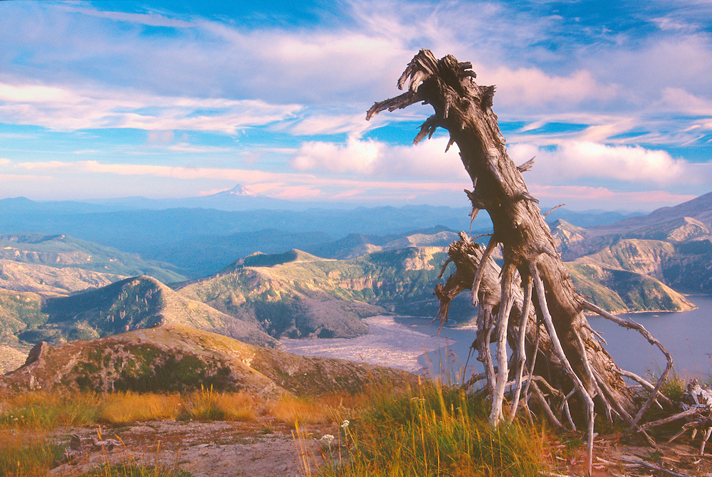 Standing Dead Tree, Spirit Lake and Mt. Hood, Mt. Margaret Backcountry, Mt. St. Helens National Volcanic Monument, Washington, US, August 2004