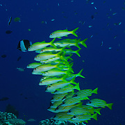 Yellowfin Goatfish, Mulloidicthys vanicolensis, at isalnd number 6 in the Similan Islands, Thailand.