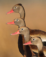 Black-bellied Whistling Duck, Dendrocygna autumnalis<br />