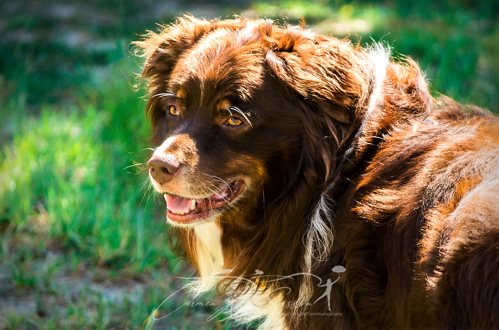 Cowboy, a six-year-old, red tri Australian Shepherd dog, is pictured outside on a sunny day in Coden, Alabama. (Photo by Carmen K. Sisson/Cloudybright)
