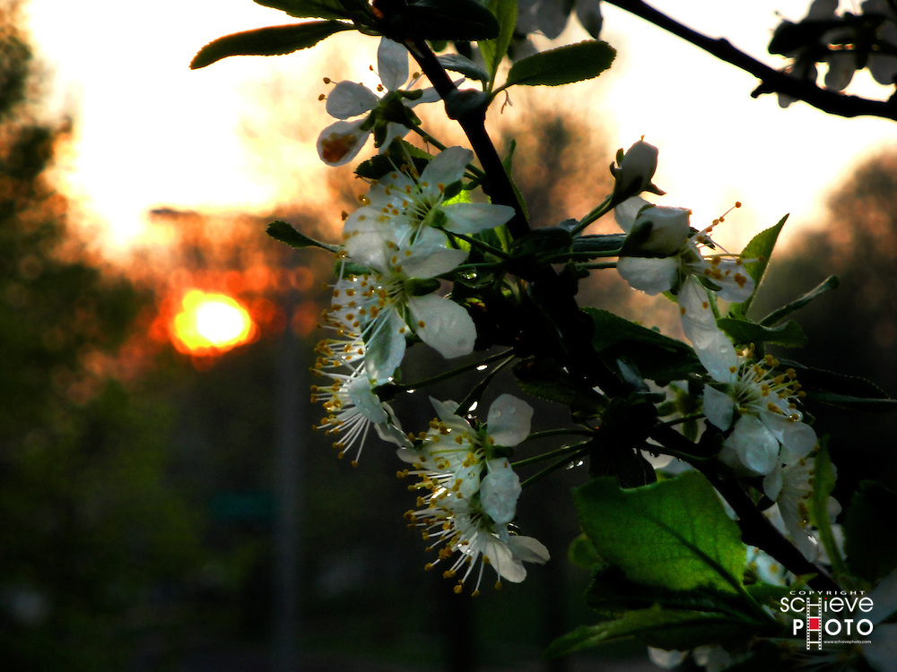 Setting sun behind plum tree blossoms.