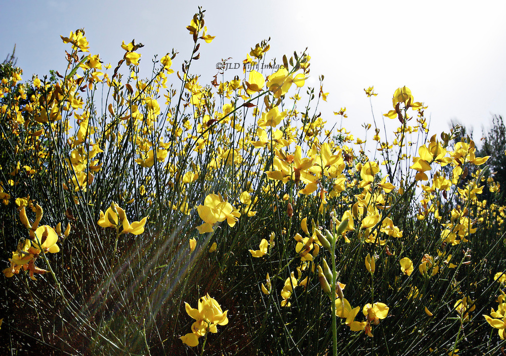 Looking into a stand of flowering yellow broom on a hillside in Croatia.  Flowers strain upward into the light, seeming joyful and free.