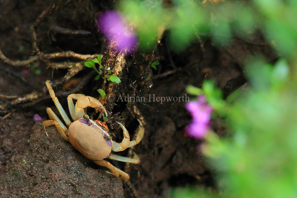 Juvenile blue land crab (Cardisoma guanhumi) feeding on a leaf. Tortuguero National Park, Costa Rica.