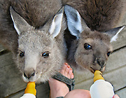 "Baby kangaroos suckle milk from nippled bottles at Emu Park Holiday Park, in the beautiful Wartook Valley, in the Northern Grampians region, Victoria, Australia. Published in ""Light Travel: Photography on the Go"" book by Tom Dempsey 2009, 2010."