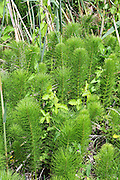 Horsetail plants (Equisetum sp.). Photographed in Israel, Upper Galilee, Hazbani River in April