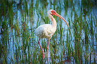 White Ibis Working a Tidal Salt Marsh at Fort Desoto Park in St. Petersburg, Florida. Image taken with a Nikon D3s and 70-300 mm VR lens (ISO 280, 300 mm, f/5.6, 1/320 sec).