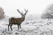 UNITED KINGDOM, London: 22 November 2018 A red deer stands amongst a frosty Richmond Park in London this morning. Temperatures sunk to zero degrees in the capital last night. Rick Findler  / Story Picture Agency