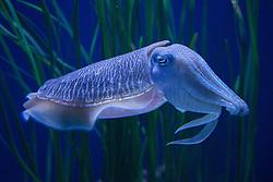 Pharaoh cuttlefish (Speia pharaonis), Monterey Bay Aquarium, Monterey, California, United States of America
