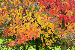 Liquidambar styraciflua 'Worplesdon' - Sweet gum - in autumn colour
