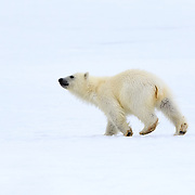 A very young polar bear cub (Ursus maritimus), probably only a few months old, trotting away after standing up to take a look around. This cub was alone with its mother. Given that polar bears generally have two cubs, it is possible that something happened to this cub's sibling. Photographed in Svalbard.
