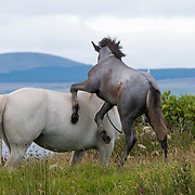 Connemara pony with her foal, Tully, Ireland