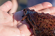 California Sea Hare (Aplysia californica) held carefully in a pair of adult hands.