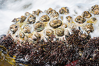 Limpet shells in the intertidal zone being washed over by wave action, Namaqua National Park, Northern Cape, South Africa