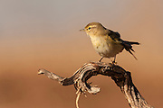 Adult Willow Warbler (Phylloscopus trochilus) perched on a tree. Photographed in Ein Afek Nature Reserve, Israel in October