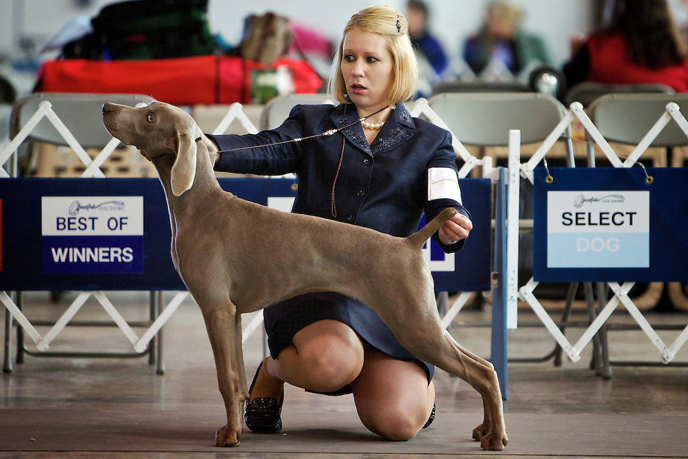 Jessica Smith, a dog handler for owner Ryan Holman, checks the stance of a 6-month-old Weimaraner during a judging Monday, May 30, 2011 at the Coeur d'Alene Dog Fanciers 2011 Dog Show in Coeur d'Alene, Idaho. Holman's dog, which won a best of winners in its category, was one of more than 1,200 dogs competing in the show.