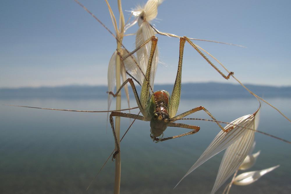 Ephippiger bush-cricket, Ephippiger ephippiger, straddles Oat grass, Avena sp.<br /> Lagadin region. Lake Ohrid (693m).<br /> Galicica National Park, Macedonia, June 2009<br /> Mission: Macedonia, Lake Macro Prespa /  Lake Ohrid, Transnational Park<br /> David Maitland / Wild Wonders of Europe