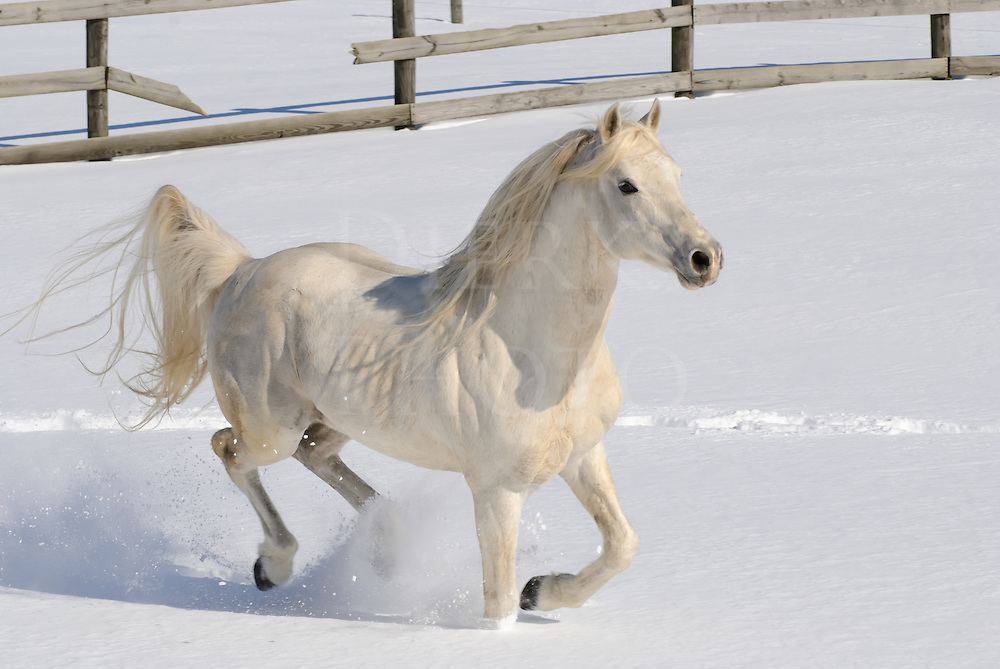 White horse running free in new fallen snow with mane and tail flying, a purebred Arabian stallion in motion at liberty, Pennsylvania, PA, USA.