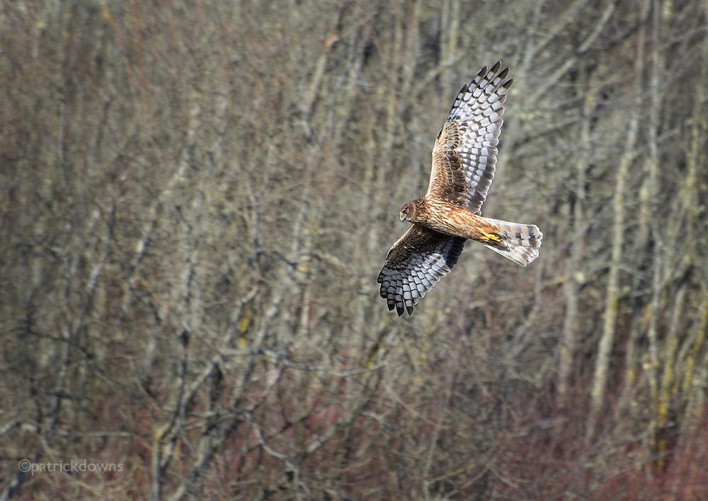 Harrier Hawk hunting. Dungeness Wildlife Refuge, Sequim, WA. (March 2013, © Patrick Downs)