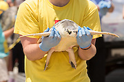 A volunteer carries a Kemp's Ridley sea turtle to the ocean during the release of rehabilitated sea turtles May 14, 2015 in Isle of Palms, South Carolina. The turtles were rescued along the coast and rehabilitated by the sea turtle hospital at the South Carolina Aquarium in Charleston.